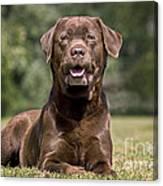 Chocolate Labrador Dog Canvas Print