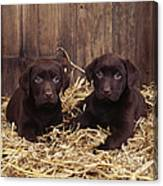 Chocolate Labrador Puppies Canvas Print