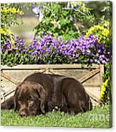 Chocolate Labrador Puppy Canvas Print