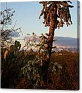 Cholla Cactus View Canvas Print