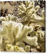 Cholla (cylindropuntia Bigelovii) Cactus Canvas Print