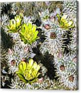 Cholla Flowers Canvas Print
