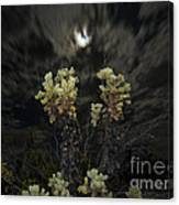 Cholla Light - Joshua Tree National Park Canvas Print