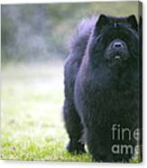 Chow Chow Dog Canvas Print