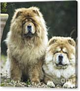 Chow Chow Dogs Canvas Print