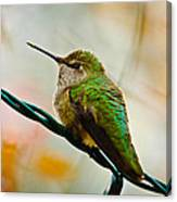 Christmas Humming Bird Canvas Print