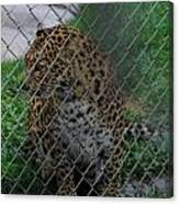 Christmas Leopard I Canvas Print