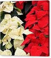 Christmas Poinsettia's Canvas Print