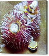 Christmas Tree Worms 1 Canvas Print
