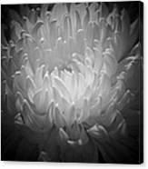 Chrysanthemum - 2 Canvas Print