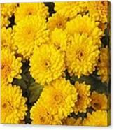 Chrysanthemum 'branhalo' Canvas Print