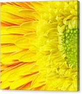 Chrysanthemum Flower Closeup Canvas Print