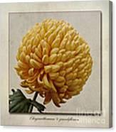 Chrysanthemum Grandiflorum Yellow Canvas Print