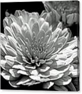 Chrysanthemum In Light And Shadow Canvas Print