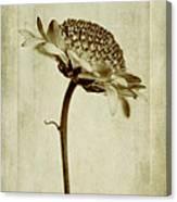 Chrysanthemum In Sepia Canvas Print