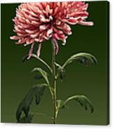 Chrysanthemum Shelbers Canvas Print