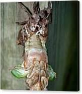 Cicada Emerging Canvas Print