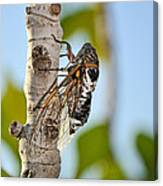 Cicada On Fig Tree Canvas Print