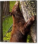 Cinnamon Boar Black Bear Canvas Print
