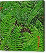 Cinnamon Ferns Along Skyline Trail In Cape Breton Highlands Np-n Canvas Print