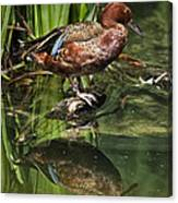 Cinnamon Teal Duck With Reflection Canvas Print