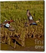 Cinnamon Teal Pair In Flight Canvas Print