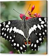 Citrus Swallowtail Butterfly  Canvas Print