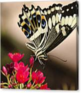 Citrus Swallowtail  Canvas Print
