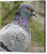 City Pigeon Canvas Print
