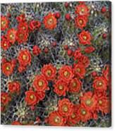 Claret Cup Cactus Flowers Detail Canvas Print