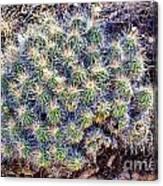 Claret Cup Cactus Canvas Print