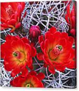 Claretcup Cactus In Bloom Wildflowers Canvas Print