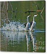 Clarks Grebes Dancing Canvas Print