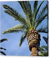 Classic Palms Canvas Print