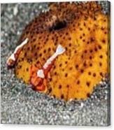 Cleaner Shrimp On Sea Cucumber Canvas Print