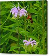 Clear-winged Hummingbird Moth Canvas Print