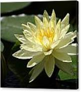 Clear Yellow Water Lily And Bud Canvas Print