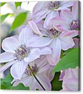 Clematis At Jack's Canvas Print