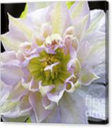 Clematis 'belle Of Woking' Canvas Print