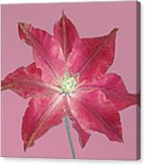 Clematis In Gentle Shades Of Red And Pink. Canvas Print