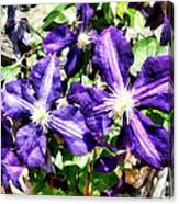 Clematis On A Stone Wall Canvas Print