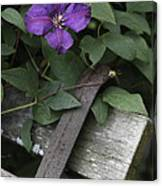 Clematis On Bench Canvas Print