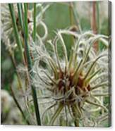 Clematis Seed Canvas Print