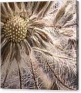 Clematis Seedpod Close Up Canvas Print