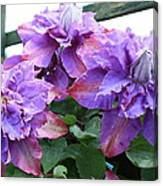 Clematis Vyvyan Pennell Canvas Print
