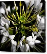 Cleome In Bloom Canvas Print