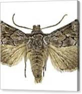 Cleonymia Yvanii Moth Canvas Print
