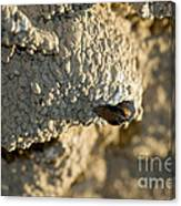 Cliff Swallow About To Fledge Canvas Print