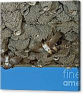 Cliff Swallows At Nests Canvas Print