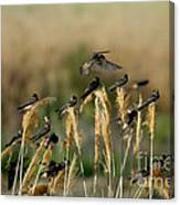 Cliff Swallows Perched On Grasses Canvas Print